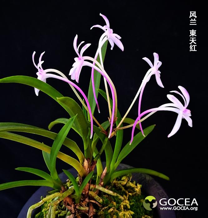 风兰 东天红 (5).jpg