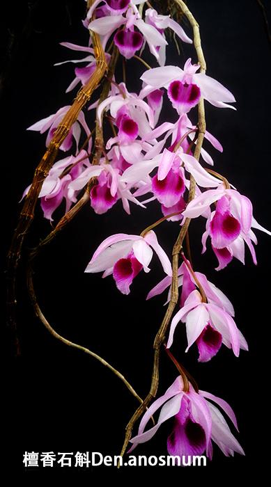 檀香石斛Den.anosmum (4).jpg