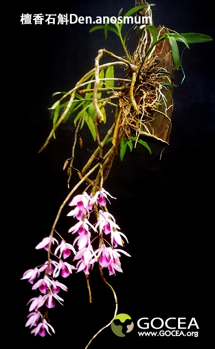 檀香石斛Den.anosmum.jpg