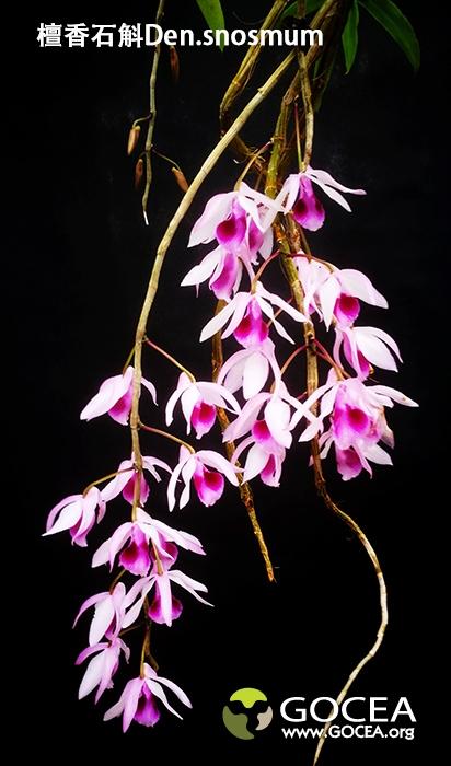 檀香石斛Den.anosmum (1).jpg