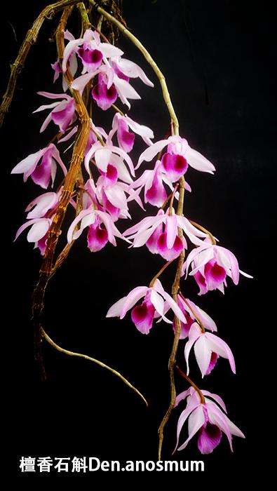 檀香石斛Den.anosmum (3).jpg
