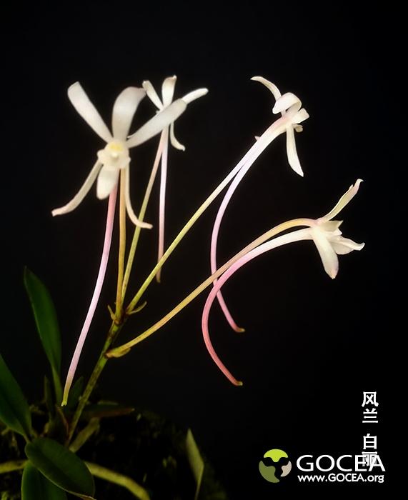 风兰 百丽 (3).jpg