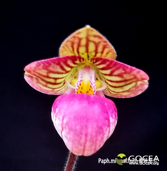 Paph.micranthum 硬叶兜兰 (1).jpg
