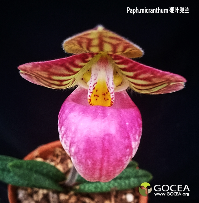 Paph.micranthum 硬叶兜兰 (2).jpg