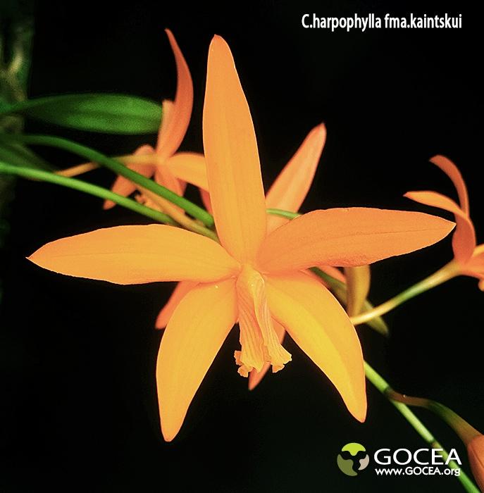 C.harpophylla fma.kaintskui (3).jpg