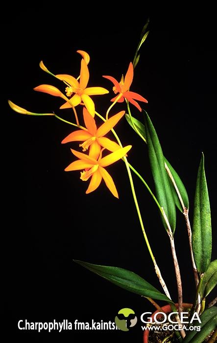 C.harpophylla fma.kaintskui.jpg
