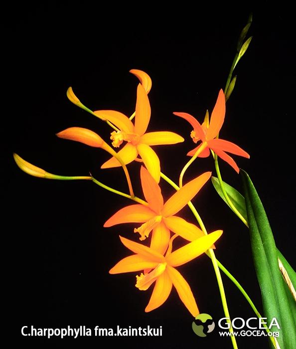 C.harpophylla fma.kaintskui (1).jpg