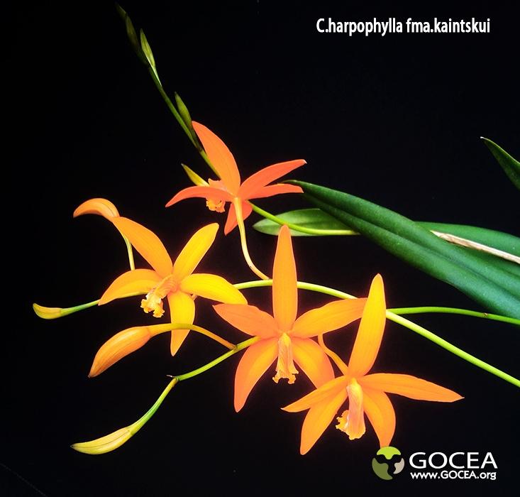 C.harpophylla fma.kaintskui (2).jpg