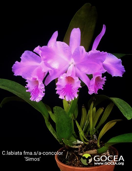 C.labiata fma.semi-alba-concolor 'Simos'-4.jpg