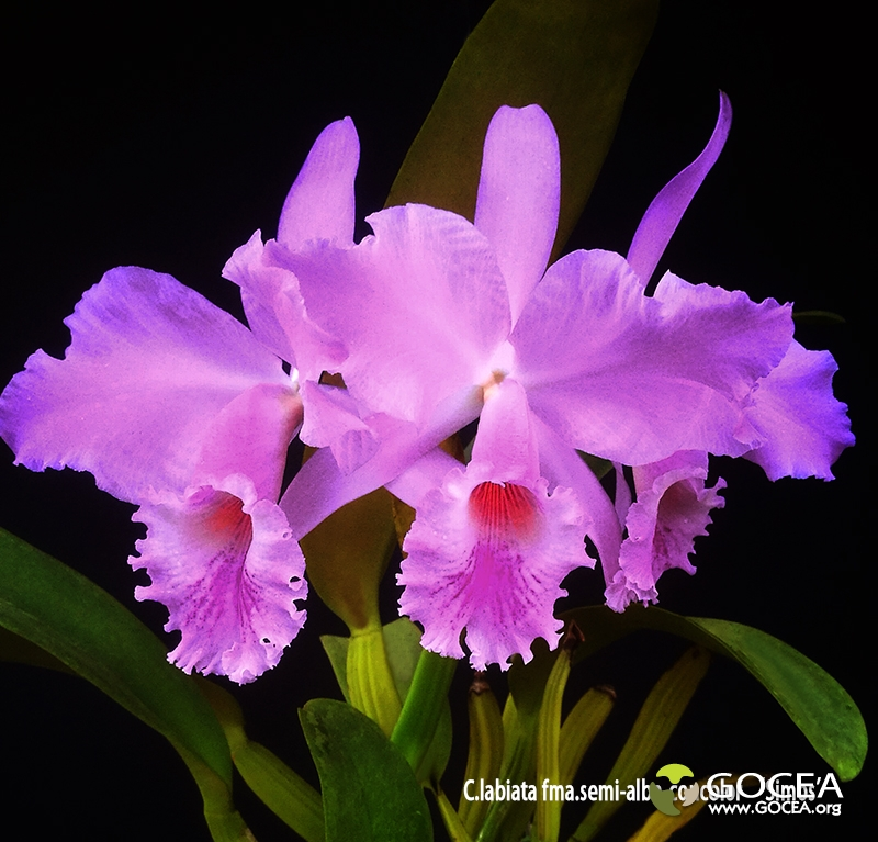 C.labiata fma.semi-alba-concolor 'Simos'.jpg