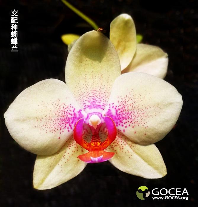 交配种蝴蝶兰(6).jpg