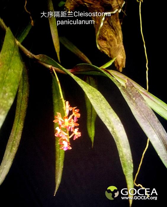 大序隔距兰Cleisostoma paniculanum.jpg