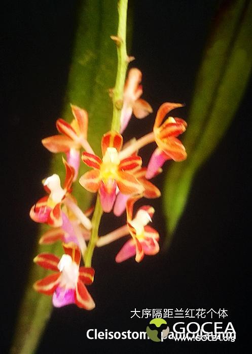 大序隔距兰Cleisostoma paniculanum (1).jpg