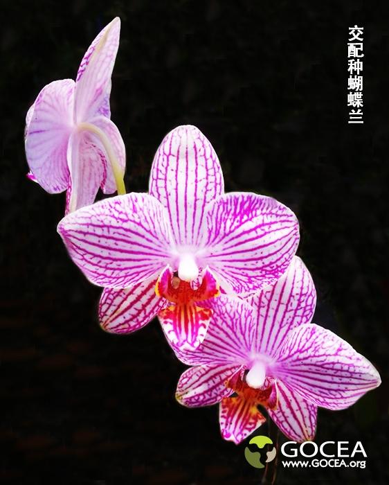 交配种蝴蝶兰(4).jpg