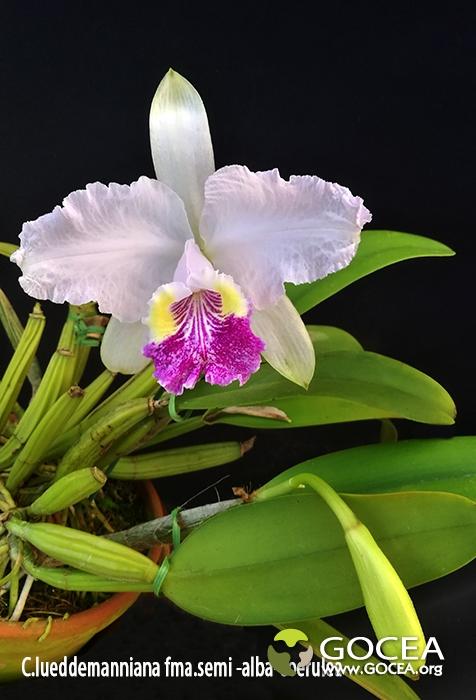 C.lueddemanniana fma.semi-alba-coerulea.jpg