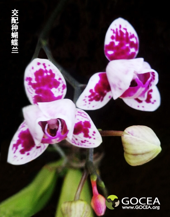 交配种蝴蝶兰(10).jpg