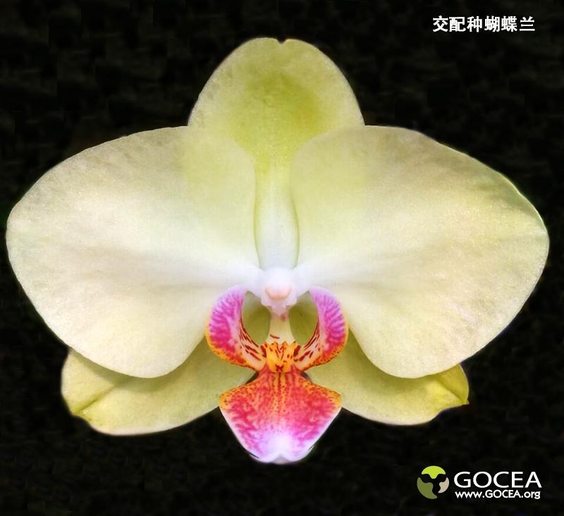 交配种蝴蝶兰(20).jpg