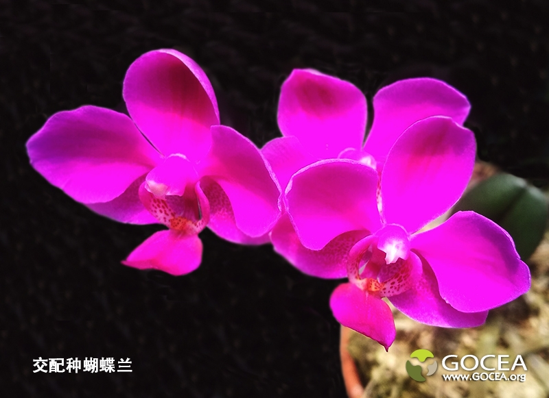 交配种蝴蝶兰(23).jpg