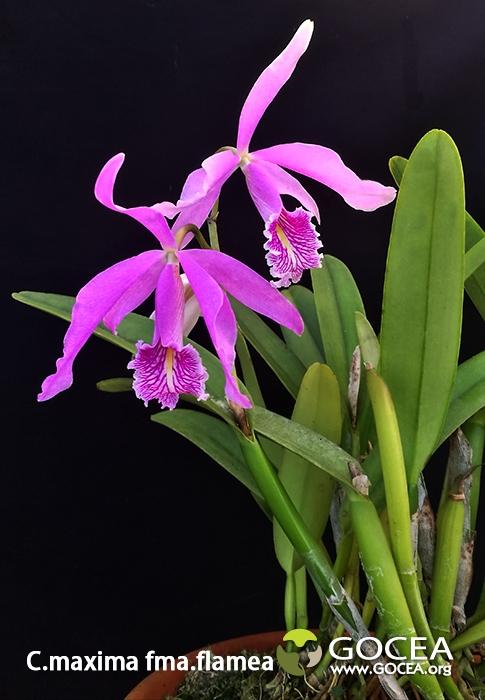 C.maxima fma.flamea.jpg