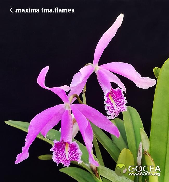 C.maxima fma.flamea (1).jpg
