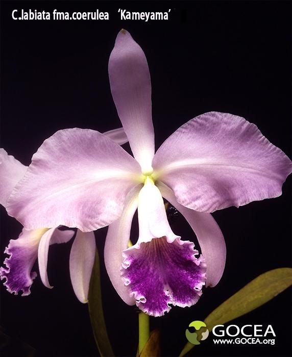 C.labiata fma.coerulea 'Kameyama'.jpg