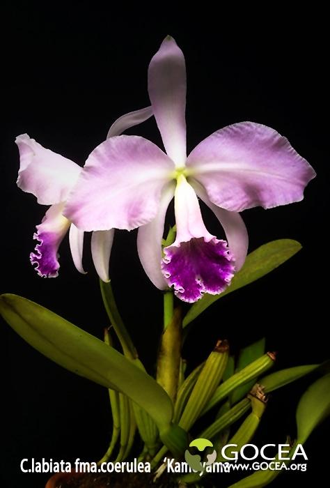 C.labiata fma.coerulea 'Kameyama'-1.jpg