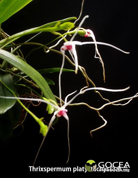 Thrixspermum platystachys白点兰.jpg