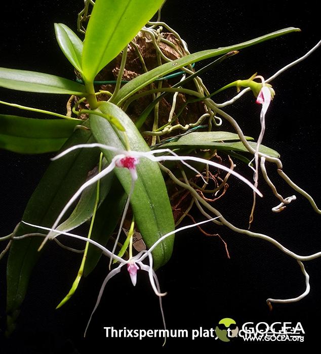 Thrixspermum platystachys白点兰-1.jpg