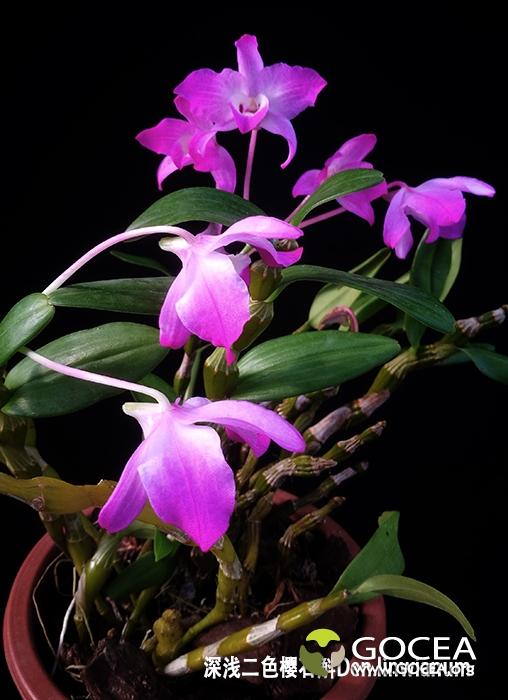 深浅二色桜石斛Den.linawianum (4).jpg