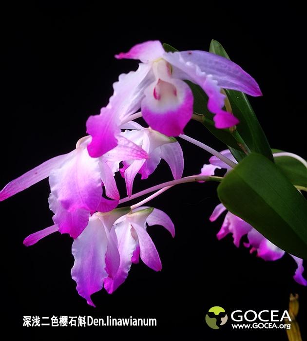 深浅二色桜石斛Den.linawianum (2).jpg