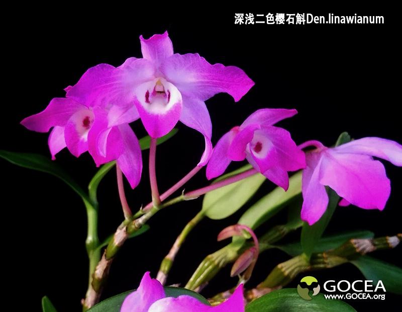 深浅二色桜石斛Den.linawianum (3).jpg