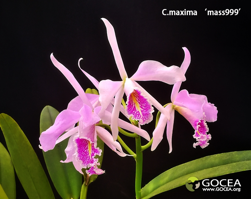 C.maxima 'mass999' (1).jpg