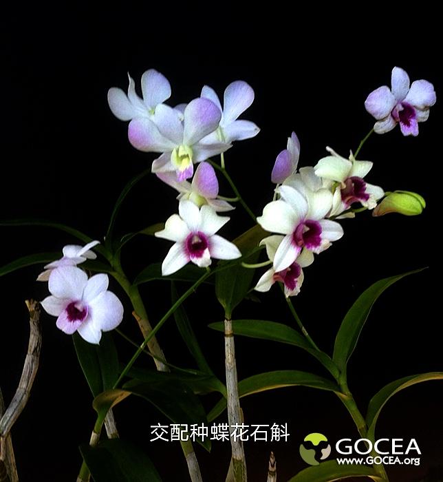 交配种蝶花石斛-3.jpg
