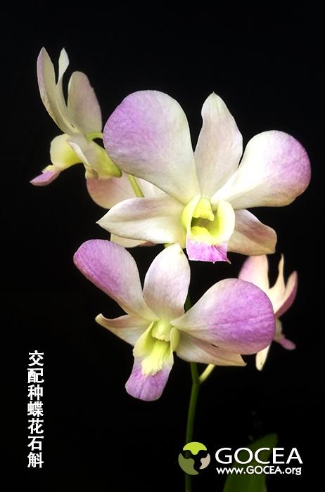 交配种蝶花石斛-8.jpg