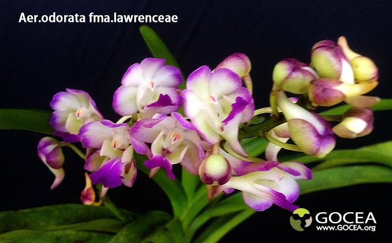 Aer.odorata fma.lawrenceae-1.jpg