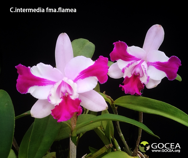 C.intermedia fma.flamea.jpg