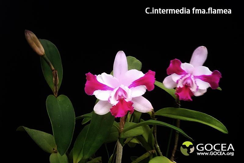 C.intermedia fma.flamea (2).jpg