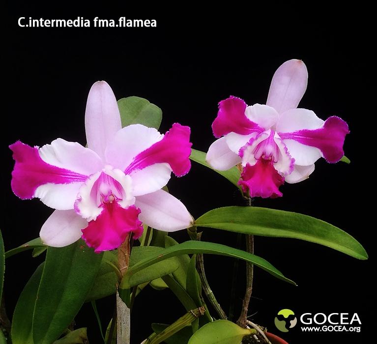 C.intermedia fma.flamea (1).jpg