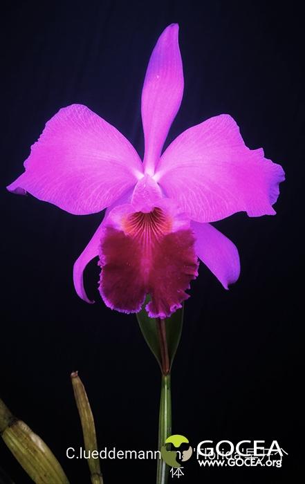C.lueddemanniana 'Florida'早开个体.jpg