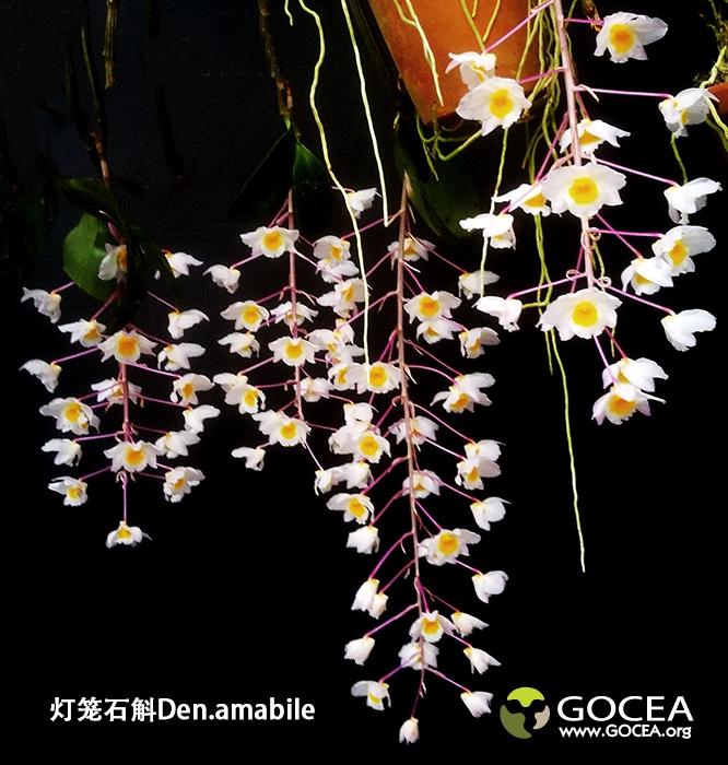 灯笼石斛Den.amabile (5).jpg