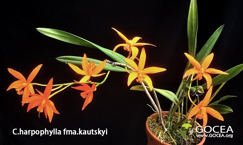 C.harpophylla fma.kautskyi (1).jpg