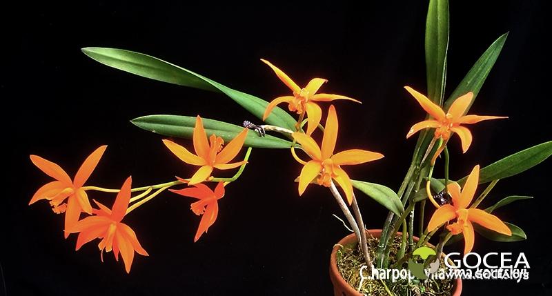 C.harpophylla fma.kautskyi.jpg