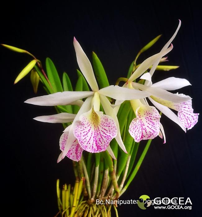 Bc.Nanipuatea 'Dogashima'.jpg