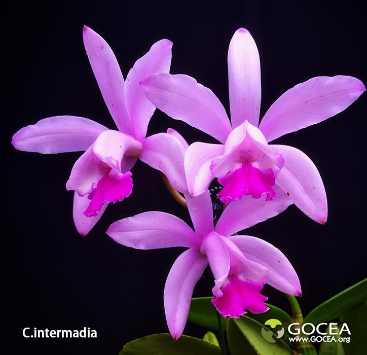 C.intermedia (6).jpg