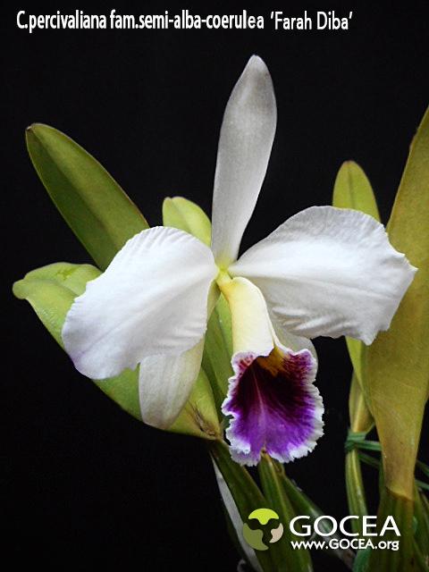 C.percivaliana  fma.semi-alba-coerulea 'Farah Diba' (1).jpg