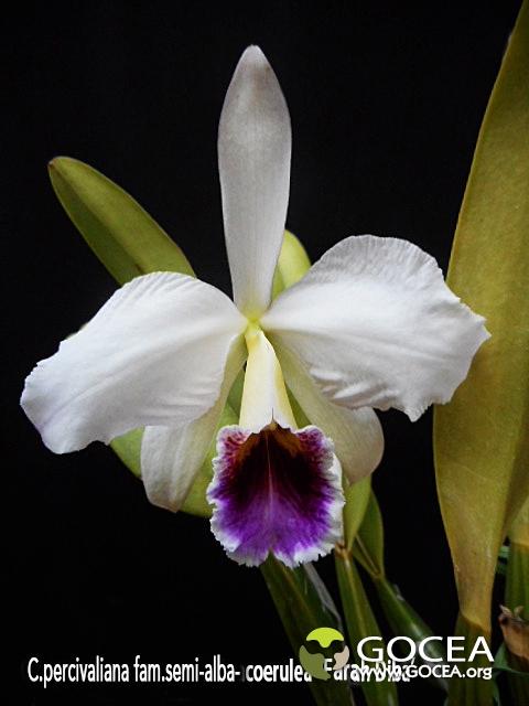 C.percivaliana  fma.semi-alba-coerulea 'Farah Diba'.jpg