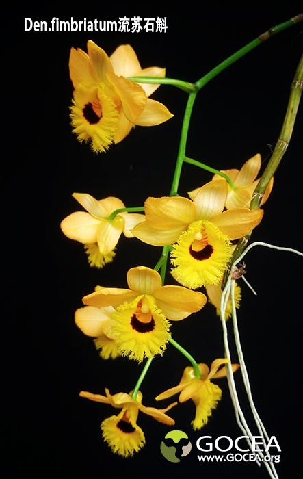 Den.fimbriatum流苏石斛 (1).jpg