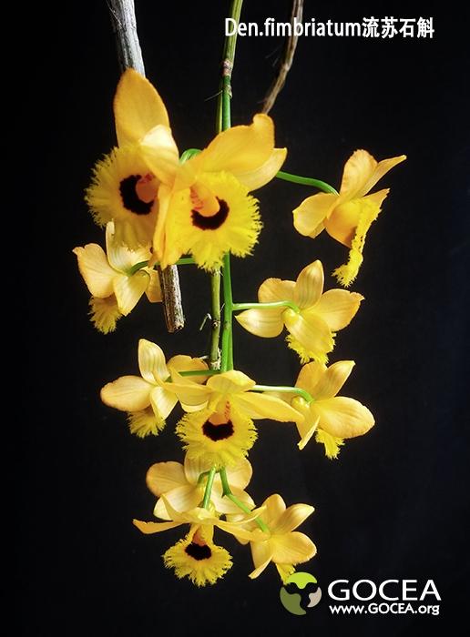 Den.fimbriatum流苏石斛 (2).jpg