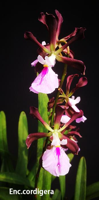 Enc.cordigera (4).jpg
