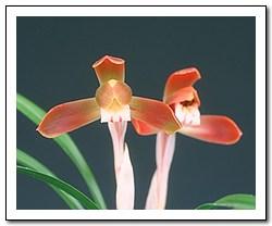 Korean Orchid